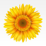 Sunflower. Yellow sunflower on the  white background. Mesh Stock Photos