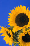 Sunflower. Against a Blue Background Stock Photos