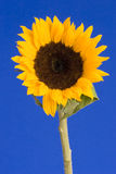 Sunflower. Against a Blue Background Royalty Free Stock Image