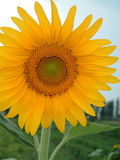 Sunflower. Close-up of sun-flower Royalty Free Stock Image