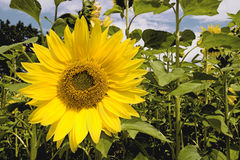 Sunflower. In the middle of the field Royalty Free Stock Photos