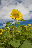 Sunflower. Standing tall above the rest of the field Royalty Free Stock Images