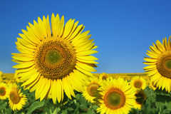 Sunflower. Against a blue sky Royalty Free Stock Images