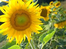 Sunflower. In front with other behind. Plantation Royalty Free Stock Photography