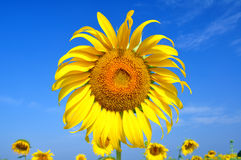 Sunflower. Beauty sunflower on blue sky royalty free stock photo