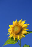 Sunflower. A big yellow sunflower with a blue sky background Stock Photo
