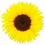 Sunflower. Perfect sunflower isolated on white, clipping path included Royalty Free Stock Image