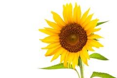 Free Sunflower Stock Photography - 19562512