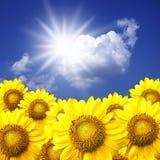 Sunflower. Summer sun over the sunflower field stock images