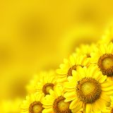 Sunflower. Background with sunflower details on yellow background stock photography