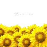 Sunflower. Details on white background stock photos