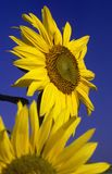Sunflower #2 Royalty Free Stock Photos