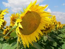 Sunflower 2. Soldierly stand in queue Royalty Free Stock Photo