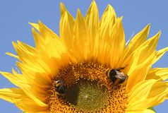 Sunflower and 2 bees Royalty Free Stock Images