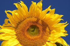 The sunflower Royalty Free Stock Photography