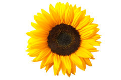Free Sunflower Stock Photo - 20157000