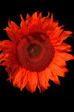 The sunflower. Red sunflower royalty free stock photo