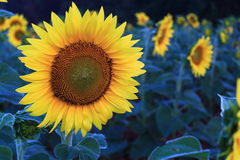 Sunflower. After rain in the morning Stock Images