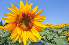 Sunflower. Yellow sunflower on blue sky - copy space Stock Photos