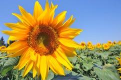 Sunflower. Yellow sunflower on blue sky - copy space stock photos