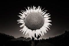 Sunflower. In the sky, tuscany italy Stock Photo