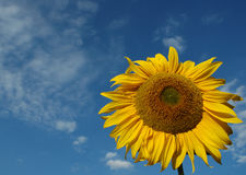 Sunflower. Yellow sunflower against blue sky with white clouds Stock Image