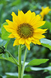 Sunflower. In a field of s Royalty Free Stock Image