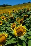 Sunflower. Field in the hills in Predappio Stock Image