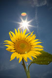 Sunflower. Feeling of summer time Royalty Free Stock Images