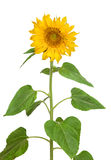 Sunflower. With green leaves. Isolated over white background Royalty Free Stock Photo