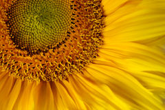 Sunflower. Close-up of beautiful yellow sunflower Royalty Free Stock Photography