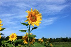 Free Sunflower Stock Image - 20536231