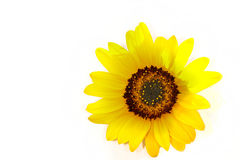 Sunflower. Isolated sunflower in the sun with some shadow Royalty Free Stock Photography