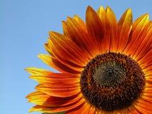 Sunflower. On blue sky Stock Photos