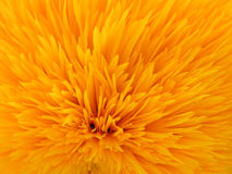 Sunflower. Closeup. Decorative variety Stock Photo