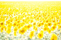 Sunflower. Francia - Champagne overexposed sunflower field Royalty Free Stock Photography