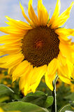 Sunflower. Sunshine  is around the sunflower Royalty Free Stock Images