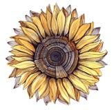 Sunflower. Graphic sunflower isolated white (Cbm painting Stock Images