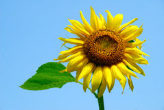 Sunflower. Isolated sunflower against a blue sky Stock Images
