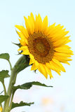 Sunflower. The scientific name is Helianthus annuus L Stock Photos