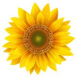 Sunflower. Realistic illustration isolated on white Royalty Free Stock Photo