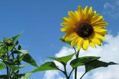 Sunflower. A sunflower in our garden Stock Photos