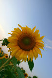 Sunflower. Field of Turkey.  close up royalty free stock photography