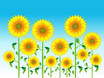 Sunflower. S are in bloom under a blue sky a lot Vector Illustration