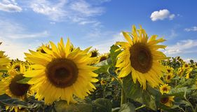 Free Sunflower Stock Images - 2267224