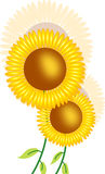 Sunflower. Illustration isolated on white Stock Images