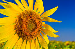 Sunflower. Closeup blooming sunflower with the blue sky background Stock Image