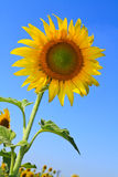 Sunflower. Blooming sunflower with the blue sky background Royalty Free Stock Images