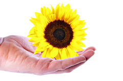Sunflower. Hand with a Sunflower over a white Background Royalty Free Stock Photos