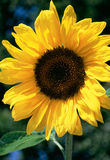 Sunflower. Sunny sunflower Stock Image
